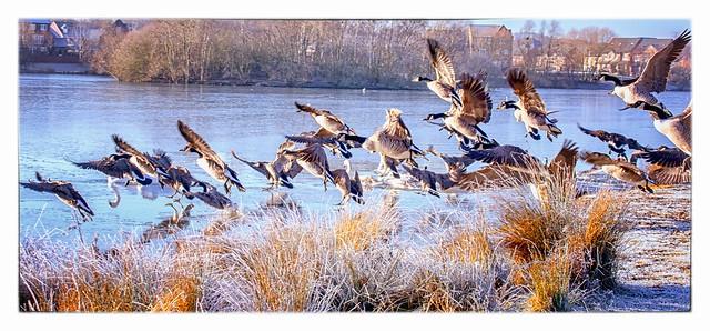 Geese take to Flight...