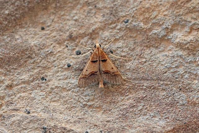 Stemmatophora brunnealis, Alqueirinhos, Algarve (Copy)