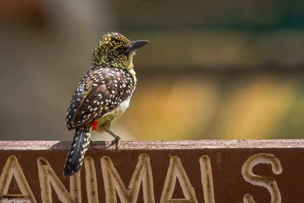 Serengeti_17sep18_13_d'arnaud's barbet2