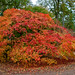 Autumnal acer with fire colours