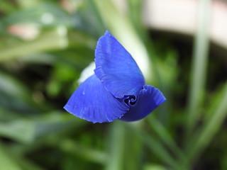 Iris Bud