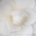 White Camellia (I), 1.29.18