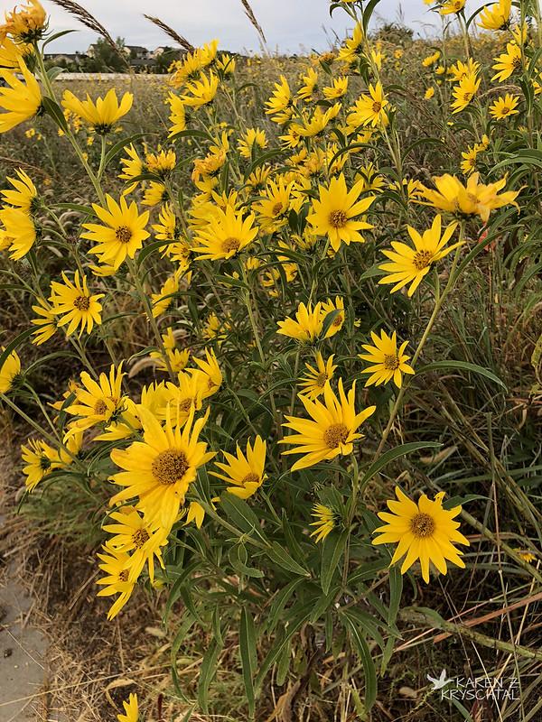 IMG_4357Sunflowers