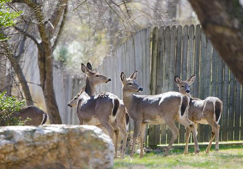 Photo of deer herd at fence