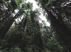 Bottom up view of tall trees at Redwood National and State Parks, United States, Northern California. Original image from Carol M. Highsmith's America, Library of Congress collection. Digitally enhanced by rawpixel.