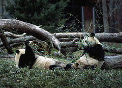 Giant pandas, the star attraction at the Smithsonian Institution's National Zoo. Original image from Carol M. Highsmith's America, Library of Congress collection. Digitally enhanced by rawpixel.