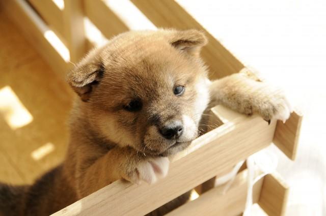 咳が長引くケンネルコフの子犬