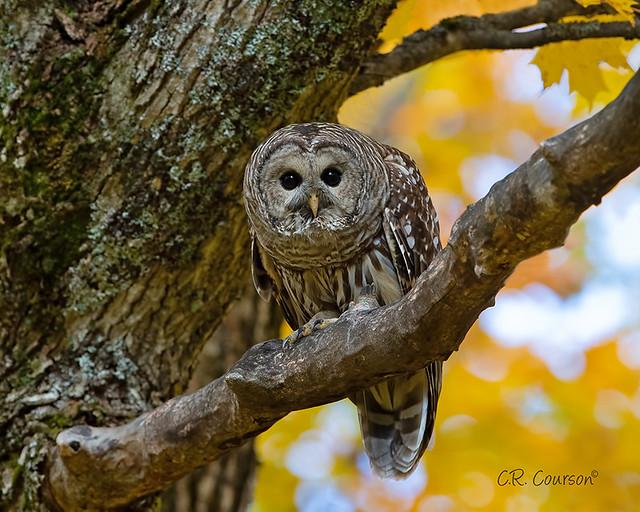 Fall Barred Owl