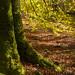 Arran beech tree
