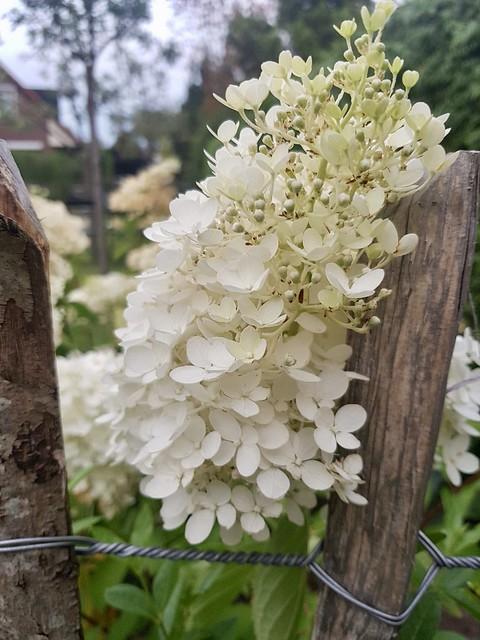 Witte hortensia landelijke tuin