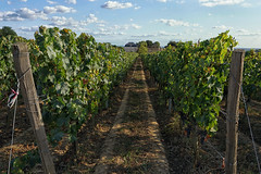 Vines in Fronsac - Photo of Galgon