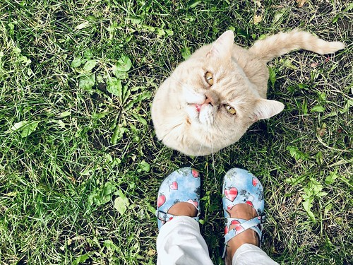 luddkolt's british shorthair, october 2018 -