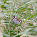 Reed Bunting at Minsmere by elle2465