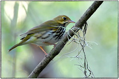 Spanish moss (and an ovenbird)