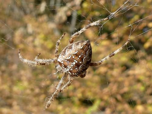 Areneus diadematus - Epeire diadème, Araignée des jardins, ariagnée porte-croix (FR) - Garden spider (UK) - Kruisspin (NL) - Gartenkreuzspinne (DE) - Korsedderkopp (NO) - Krzyżak ogrodowy (PL)