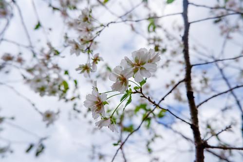 2018.09.24 大阪城 桜