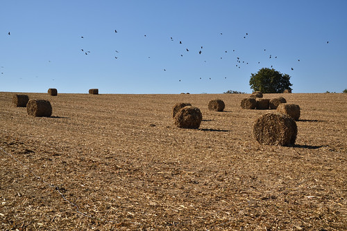 Récolte d'ensilage de maïs
