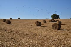 Récolte d'ensilage de maïs - Photo of Rottelsheim