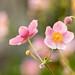 Japanese Anemones by mclcbooks