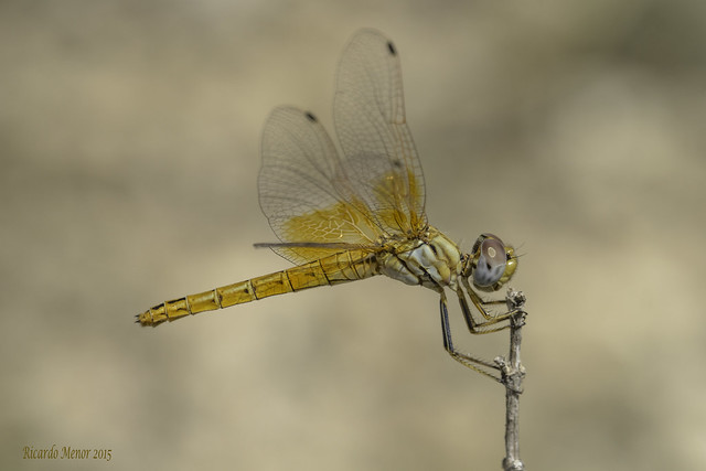 Trithemis kirbyi. Female.