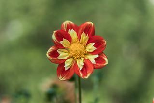 flora trauttmannsdorffs [I]