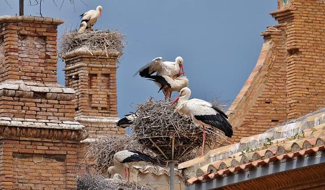 Les cigognes d'Alfaro, accouplement, Ribera d'Ebre