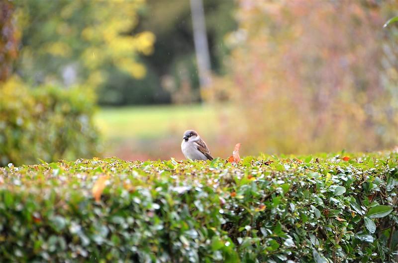 Sparrows 28.10.2018 (2)