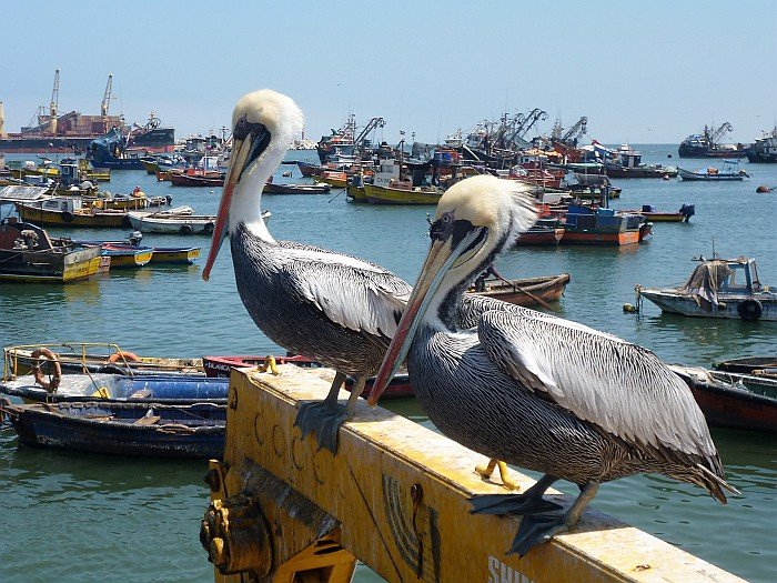 Peruvian Pelicans want their share too