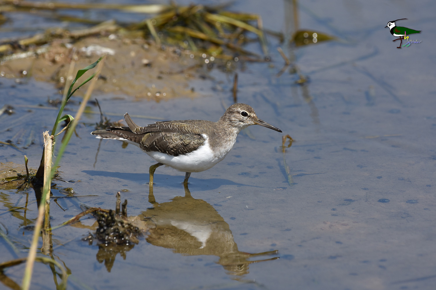 Common_Sandpiper_9268