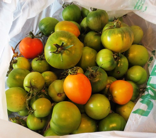 Harvested Green Tomatoes