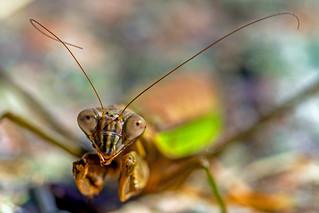Injured Praying Mantis
