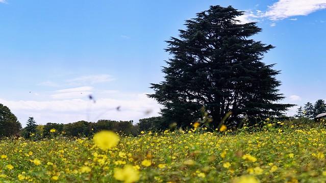 国営昭和記念公園〜コスモスまつり〜大きな木と共に