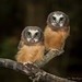Northern Saw-whet Owl by Turk Images