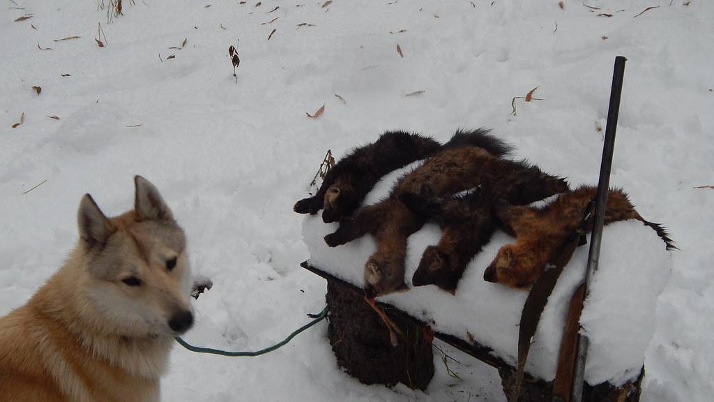 Охота с капканом на барсука (Игорь Николаевич Макаров)