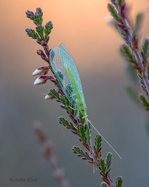 Grüne Florfliege (Chrysoperla carnea) in der Herbstsonne