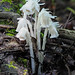 Indian-pipe - Monotropa uniflora (Monotropaceae) 117y8066698