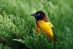 Webervogel-Männchen