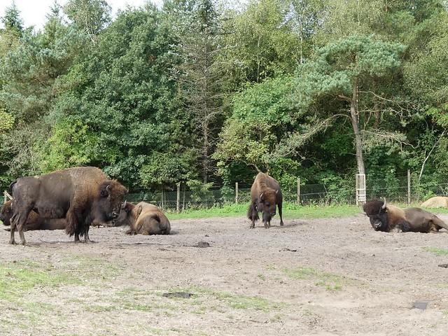 Bison, Zoo Givskud