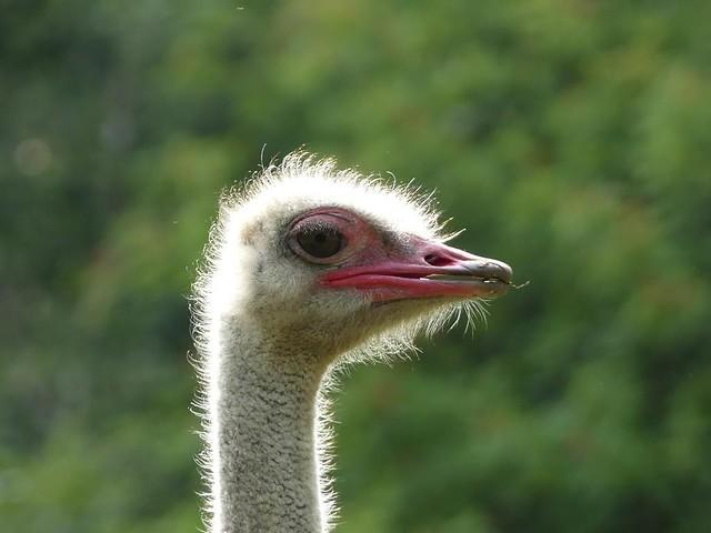 Strauß, Zoo Givskud