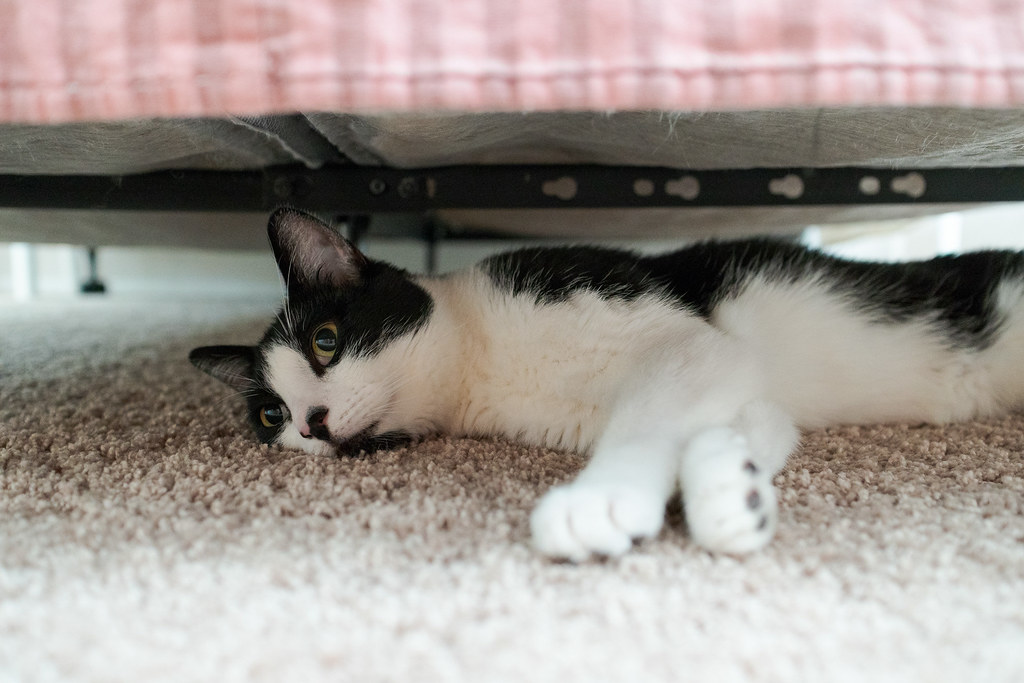 Our cat Boo sleeps on the carpet under the bed of our guest room