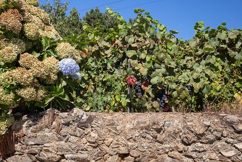 Hydrangeas and Grapes