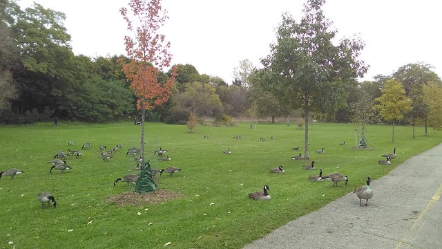Canada Geese (4) #toronto #homesmithpark #humberriver #fall #autumn #path #birds #canadageese #latergram
