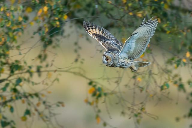 Long-eared Owl in flight-2