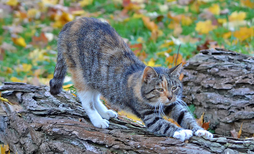 Stretching... � Autumn cats -series.