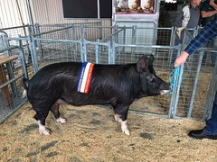 Riverglen Brock F116 - Champion Berkshire boar -Exhibited by R and H Cole