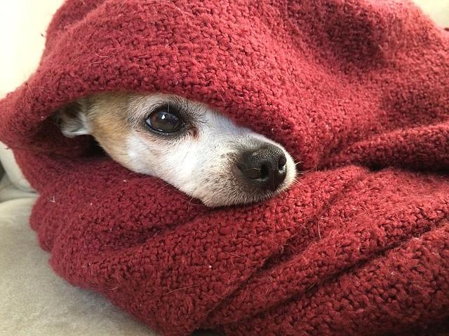 室内で寒さ対策をしている犬