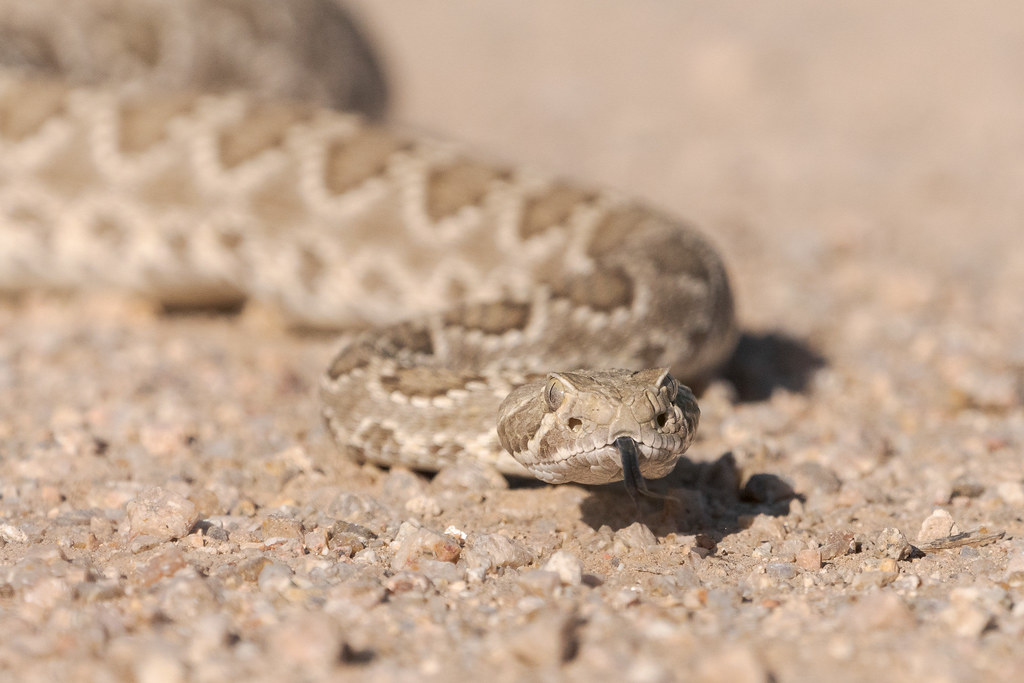 A Mojave rattlesnake sticks out its tongue as it crosses Brown's Ranch Road in McDowell Sonoran Preserve in Scottsdale, Arizona