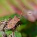 Slender-Horned Leather Bug