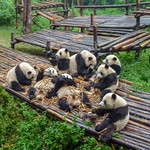 Primary photo for Day 7 - Chengdu Panda Sanctuary