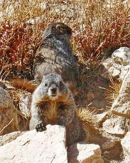 Rocky-marmot pair